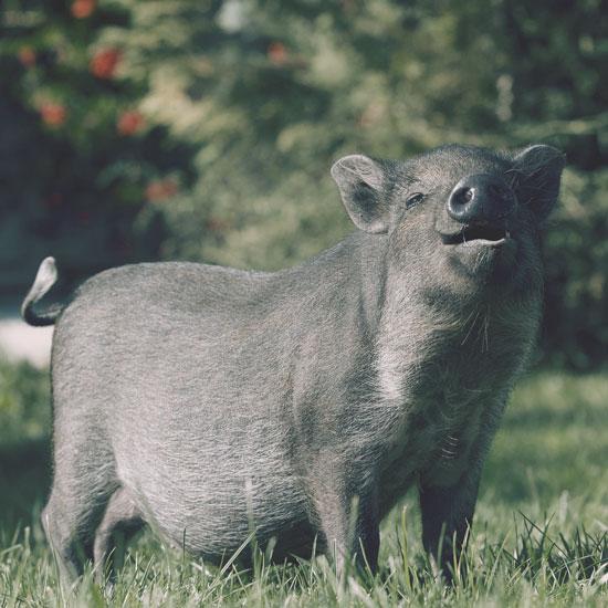 le cochon de la ferme