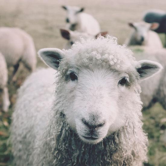 Le mouton de la ferme